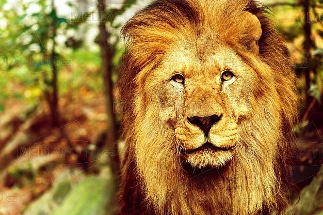 Lev, Panthera leo