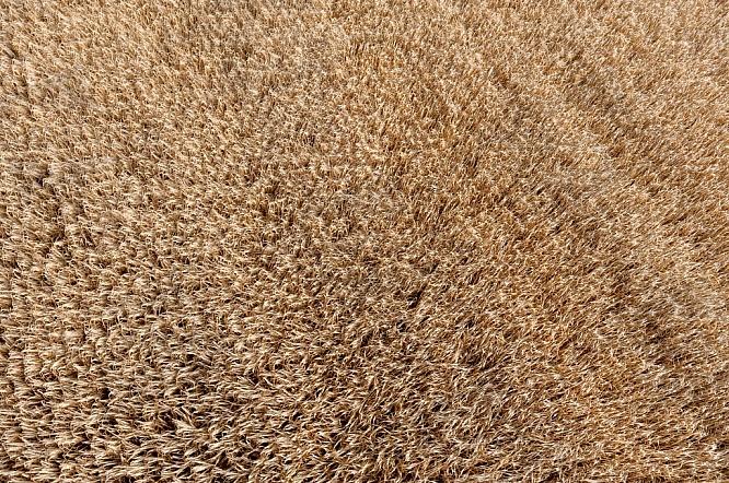 Pole, lán, obilí, zemědělství, sklizeň