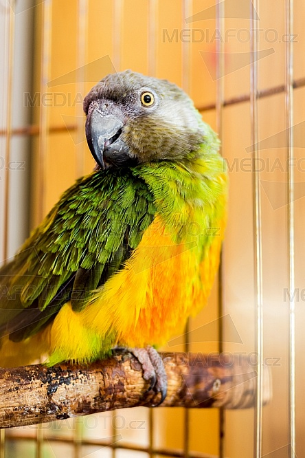 Papoušek senegalský, Poicephalus senegalus