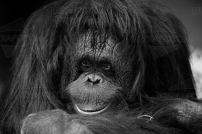 Orangutan Bornejský, Pongo pygmaeus pygmaeus
