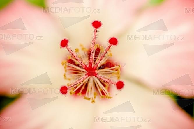 květina, květ, pestík, blizna