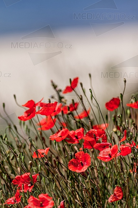 Vlčí mák, květ