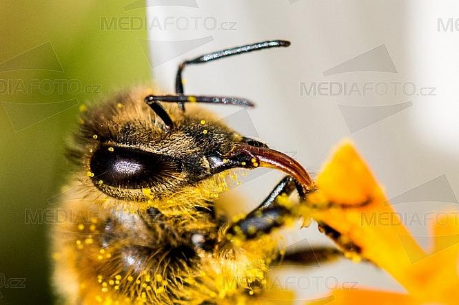 Včela medonosná, Apis mellifera L, krokus