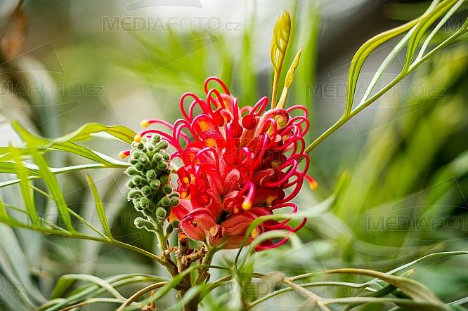 Grevillea banksii, grevillea Banksova, květina, květ