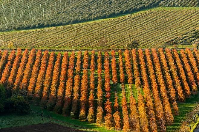jabloň, ovoce, sad, zemědělství, strom