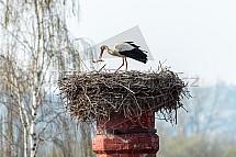 Čáp bílý, Ciconia ciconia, hnízdo. komín