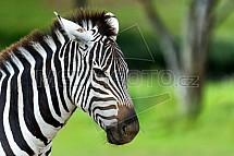 Zebra, hlava