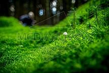 Ploník, Polytrichum, mech, houba