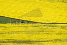 Řepka, kvetoucí, pole