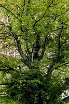 Strom, jaro, koruna