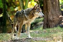 Vlk eurasijský, Canis lupus lupus