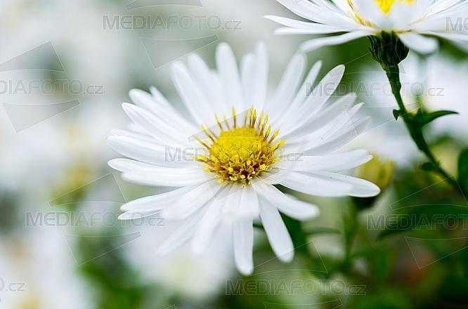 Hvězdnice, astra, aster, květ
