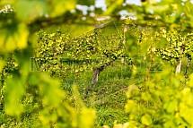Vinná réva, hrozen, vinice