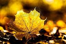 list, javor, podzim