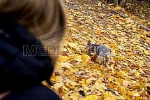 Yorkšírský teriér, pes, podzim, venčení