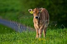 Kráva, tele, pastvina, chov