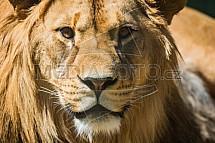 Lev berberský, Panthera leo leo