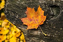 Podzim, list, lavička, dřevo, javor