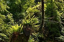 kapradí, les, prales