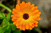 Měsíček lékařský, Calendula officinalis, květ