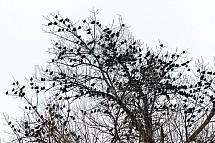 špaček, hejno, strom