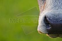 Kráva, čumák
