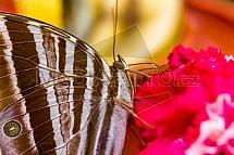 motýl, květ, karafiát