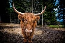 Skotský náhorní skot, highland cattle, dobytek