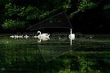 Labuť, rybník