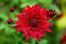 Chryzantéma, listopadka, dušička, květ