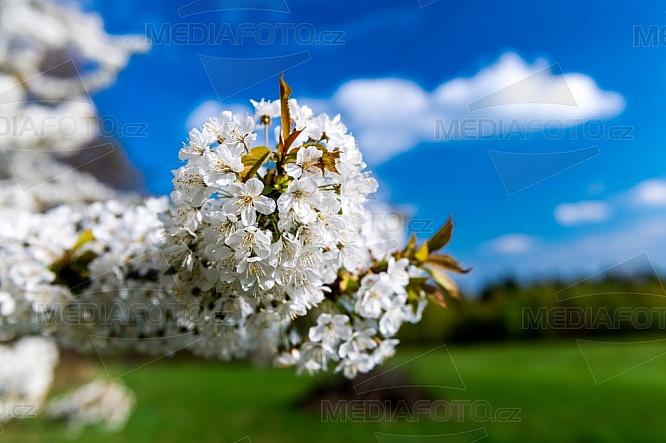 Třešeň, květ, jaro