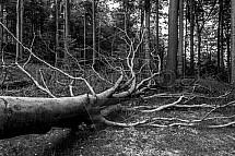 Padlý strom, Jizerské hory, les, bučiny