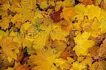 Podzim, listy, javor, žlutá