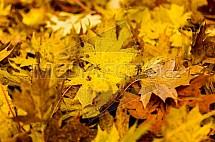 Podzim, list, javor