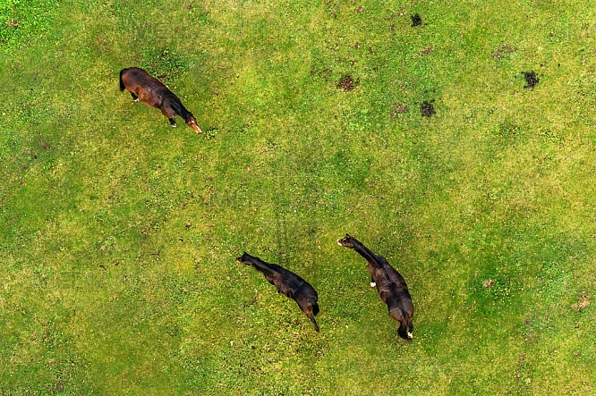 Koně, pastva, tráva