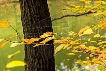Podzim, strom, kmen, listí, vodní hladina