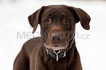 Labrador, pes, hnědý