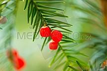 Tis červený, Taxus baccata