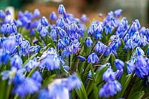 Ladoňka, Scilla, květina, květ