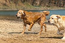 Labrador, retrívr, pes, voda, koupel