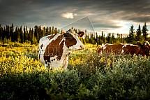 Kráva, volnost