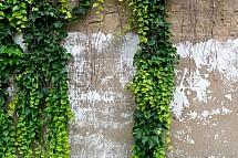 Břečťan, zeď