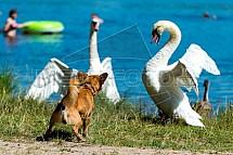 Labuť, pes, zastrašování
