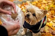 Yorkšírský teriér, pes, pamlsek, podzim