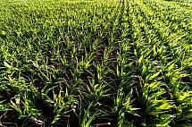 Kukuřice, zemědělství, pole