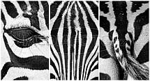 Zebra, detail