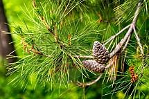 Šiška, strom