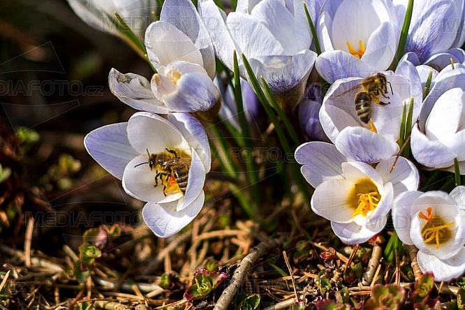 krokus, květina, květ, včela