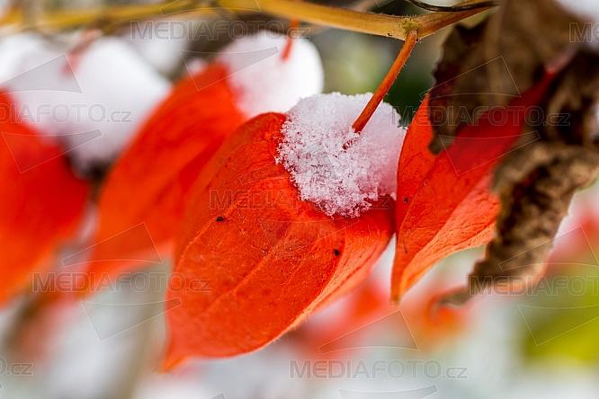 Physalis, mochyně, květ, sníh