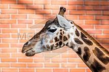 Žirafa, hlava